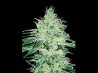 Blim Burn Seeds Black Mamba