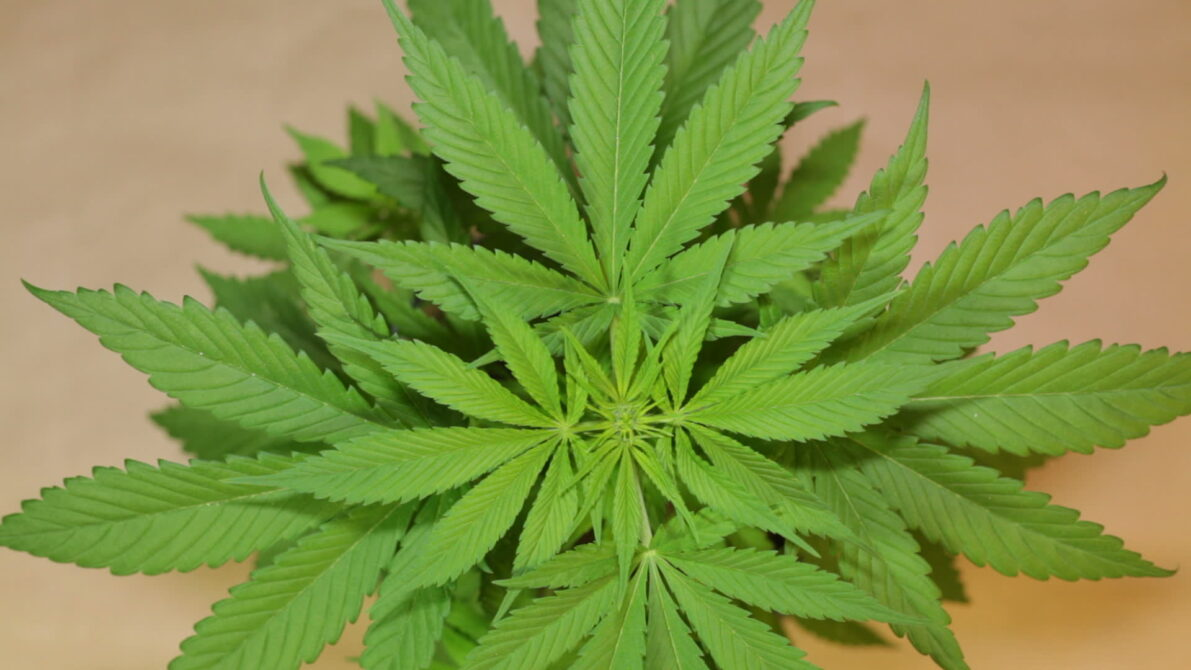 stock-footage-top-view-of-cannabis-female-plant-moving-in-wind-indica-dominant-hybrid-in-early-flowering-stage