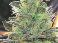 White Berry – Paradise Seeds