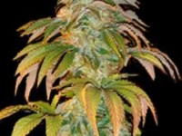 White Barry® e Spoetnik #1® by Paradise Seeds
