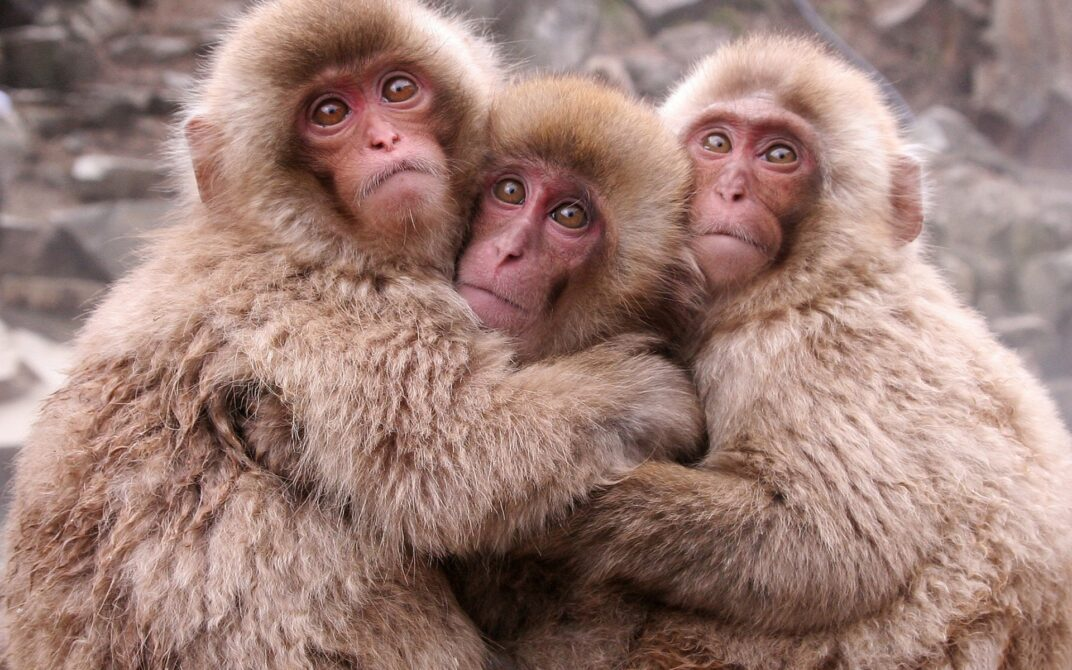 japanese-macaque-animals-monkeys-2534206-1920x1200