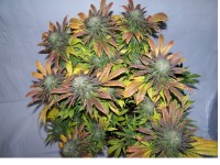 Sweet skunk di Chimera Seeds