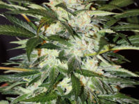 Monster Mash di Exotic Seed