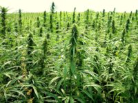 Cannabis light: dal governo via libera alle infiorescenze
