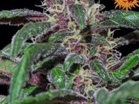Strain Guide: Ayahuasca Purple