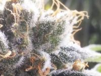 Strain Guide: Barbara Bud