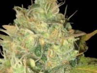 Strain Guide: Black Russian