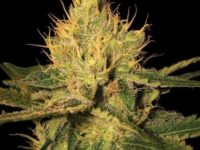 Strain Guide: Cannalope Haze
