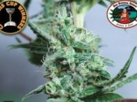 Strain Guide: Chiesel