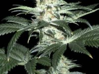 Strain Guide: Critical Sensi Star