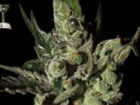 Strain Guide: Exodus Cheese