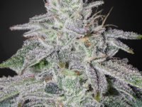 Strain Guide: Franco's Lemon Cheese
