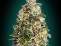 Strain Guide: Heavy Bud