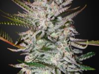 Strain Guide: Holy Punch