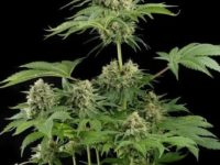 Strain Guide: Moby Dick