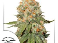 Strain Guide: Orange Bud