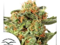 Strain Guide: Orange Hill Special