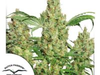 Strain Guide: Power Plant