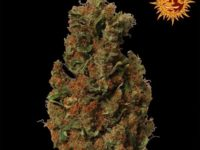 Strain Guide: Red Diesel