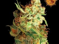 Strain Guide: Red Dragon