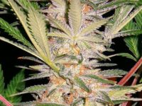 Strain Guide: S.A.D Sweet Afghani Delicious