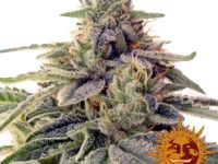 Strain Guide: Shiskaberry