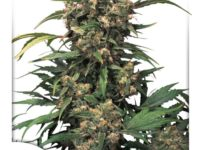 Strain Guide: Strawberry Cough