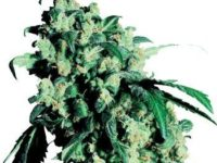 Strain Guide: Super Skunk
