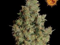 Strain Guide: Tangerine Dream