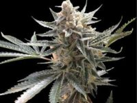 Strain Guide: Tangie