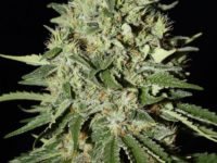 Strain Guide: The Doctor