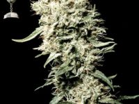 Strain Guide: White Rhino