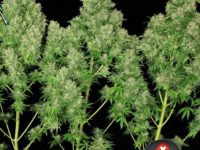 Strain Guide: White Russian