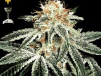 Strain Guide: White Widow