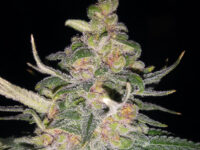 Royal Gorilla della Royal Queen Seeds