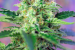 Crystal Candy® e Blow Mind Auto®, nuove varietà di Sweet Seeds